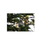 Breeding home range and habitat use of a rare high-elevation songbird in industrial forests of New Brunswick